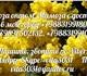 Изображение в Домашние животные Растения Мимоза ОПТОМ. Тюльпан. Нарцисс. ЦветыНа 14, в Москве 150