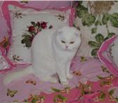 Изображение в Домашние животные Услуги для животных Белый фолд,интерчемпион,от клубных высокотитулованных в Таганроге 3000