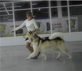 Изображение в Домашние животные Вязка собак Аляскинский маламут. Документы Ркф. +79124749616 в Челябинске 0