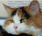 Foto в Домашние животные Услуги для животных Трехцветная лесная длинношерстная красавица в Улан-Удэ 0