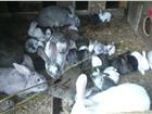 Фотография в Домашние животные Грызуны продаю крольчат,большой выбор.От 300 рублей в Иркутске 350