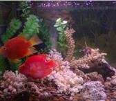 Изображение в Домашние животные Рыбки Продаю экзотических аквариумных рыбок,  большой в Омске 10