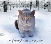 Foto в Домашние животные Вязка Приглашаем на вязку.Чистокровен, порода Британская в Краснодаре 0