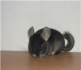 Фотография в Домашние животные Грызуны Ручные шиншиллы в ЭнгельсеЛучший подарок. в Энгельсе 3000
