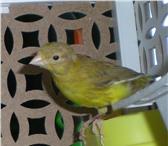 Фото в Домашние животные Птички Продам в Северске молодых канареек.Окрас в Томске 600