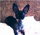 Изображение в Домашние животные Вязка собак Предлагаются для вязок 2 кобеля той терьера,черно-подпалого в Омске 500