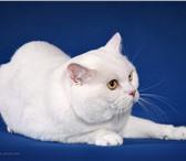 Фотография в Домашние животные Вязка Белоснежный, опытный кот породы скоттиш-страйт, в Нижнем Новгороде 1500
