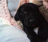 Изображение в Домашние животные Вязка собак Мальчик 2 года неразвязанный , чистокровный в Челябинске 1