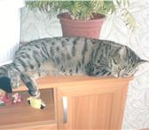Фотография в Домашние животные Вязка Кошечка британка 3 года, без документов, в Омске 0