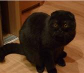 Изображение в Домашние животные Вязка Молодой кот скотиш фолд окрас черный дым в Екатеринбурге 3000
