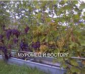 Фотография в Домашние животные Растения Продаю саженцы винограда с закрытой корневой в Иваново 500