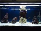Изображение в Домашние животные Рыбки Трофеус бемба продаю 4 самки 1 самец нерестятся в Москве 200