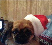 Фото в Домашние животные Вязка собак Красивая девочка Маля ждет своего мальчика в Пскове 0