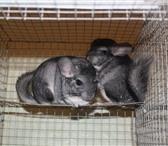 Фото в Домашние животные Грызуны Предоставляет сотрудничество по разведению,сбыту в Ижевске 4000