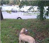 Foto в Домашние животные Вязка собак Ищем самку для вязки. По возможности пристроим в Казани 0