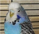 Foto в Домашние животные Птички Выставочные волнистые попугайчики   птенчики в Москве 0