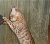 Foto в Домашние животные Вязка Молодой, клубный, титулованный, проверенный в Краснодаре 15000