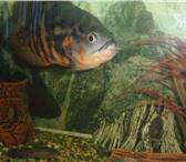 Фотография в Домашние животные Рыбки астранотус ок. 30 см, сом анциструс 38 см., в Ставрополе 0