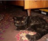 Foto в Домашние животные Услуги для животных Молодая кошечка   экзотической породы   ждет в Рыбинске 0