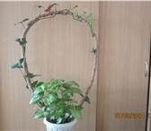Фото в Домашние животные Растения Продам большие комнатные цветы, можно для в Томске 1000