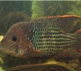 Foto в Домашние животные Рыбки Продаю мальков акары бирюзовой,активные с в Москве 50