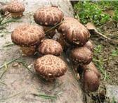 Фотография в Домашние животные Растения Комплект для выращивания грибов шиитаке в в Волгограде 1850