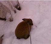 Foto в Домашние животные Грызуны продам декоративного кролика рыже серого в Магнитогорске 1000