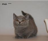 Фотография в Домашние животные Другие животные Питомник британских кошек Elite Pride г.Иваново в Иваново 0