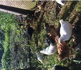 Foto в Домашние животные Другие животные Продаём утят, цыплят, подрощенных.Индауток в Сочи 250