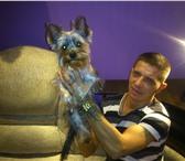 Фотография в Домашние животные Вязка собак мальчик 1,8года очень ищет девочку для продолжения в Челябинске 1