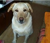 Фото в Домашние животные Вязка собак Ищем кобеля лабрадора для вязки срочно в Якутске 10