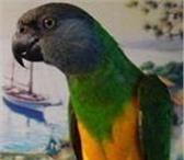 Фотография в Домашние животные Птички Продаю синегальских попугаев,   они обучаемы в Санкт-Петербурге 10000