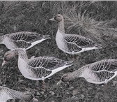 Фотография в Хобби и увлечения Охота Фотореалистичные   цветные профиля гусей в Владивостоке 2000