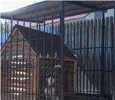 Фото в Домашние животные Вязка собак нужна девочка хаски для голубоглазого мальчика, в Челябинске 0