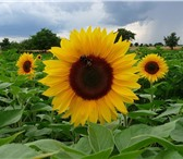 Изображение в Домашние животные Растения ООО «КУБАНЬ АГРО» предлагает к реализации в Краснодаре 180