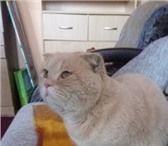 Фото в Домашние животные Вязка Ждём кошечку для вязки. Возраст 2 года. Окрас в Екатеринбурге 1000