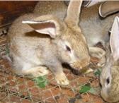 Фотография в Домашние животные Грызуны Продаются крольчата мясного направления. в Челябинске 300