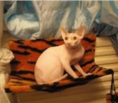Фотография в Домашние животные Товары для животных Меховые гамаки для кошек на батареи Изготовим в Новосибирске 500