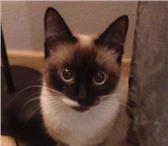 Изображение в Домашние животные Вязка Сиамская кошечка приглашает в гости на вязку в Челябинске 0