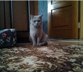 Фото в Домашние животные Вязка Британский Кот! Окрас Светло- голубой! Приглашает в Пензе 2000