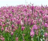 Фото в Домашние животные Растения ООО «Кубань Агро» продает:Семена люцерны в Краснодаре 45