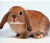 Foto в Домашние животные Грызуны Питомник  Рождественский кролик  предлагает в Оренбурге 1000