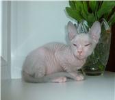 Foto в Хобби и увлечения Разное Предлагаю котят породы Донской Сфинкс, дата в Чебоксарах 7000