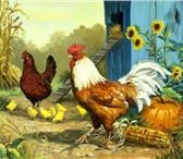 Изображение в Домашние животные Птички Бройлер КОББ 500  Суточный и подрощеный. в Москве 30