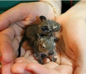 Foto в Домашние животные Грызуны продаем карликовую  шиншиллу-дегу. чилийские в Казани 600