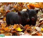 Изображение в Домашние животные Другие животные Продам поросят, вьетнамской вислобрюхой породы, в Костроме 5000