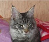 Foto в Домашние животные Вязка Породистый кот Мейн Кун ищет спутницу для в Сыктывкаре 5000