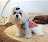 Foto в Домашние животные Вязка собак Молодой породистый кабель мальтезе АЛ-ВИШИ в Ростове-на-Дону 7000
