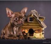 Фотография в Домашние животные Услуги для животных Предлагаю для вязки ЧИХУАХУА шоколадного в Череповецке 3000