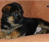 Фотография в Домашние животные Другие животные Предлагаются к продаже щенки Немецкой Овчарки в Москве 0